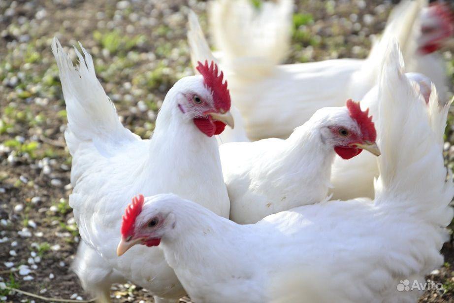 курицы белово фото модным