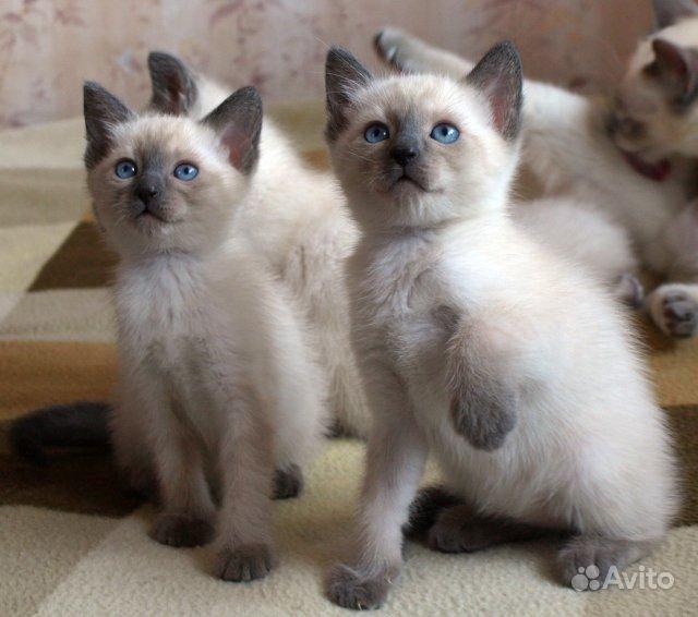 Сиамские котят