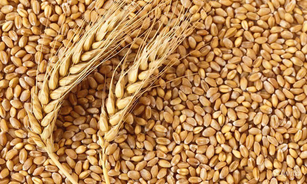 Пшеница на корм