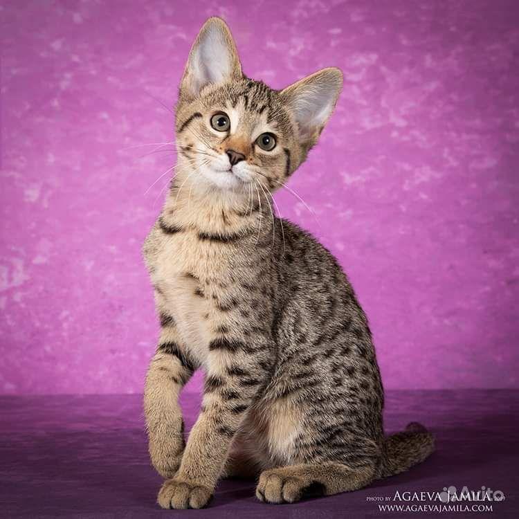 Котята саванна ф4 - фотография № 3