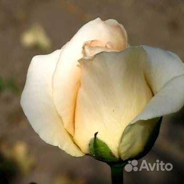 Саженцы роз купить на Зозу.ру - фотография № 2