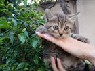 Котята-британцы прямоухие