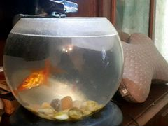 Аквариум с золотой рыбкой