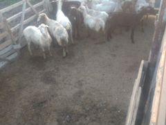 Овцы,ярки возможен обмен на баранов,крс