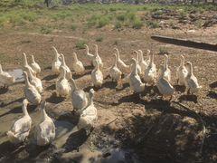 Утки Белый