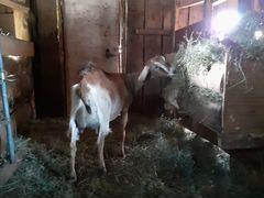 Нубийская 75 коза