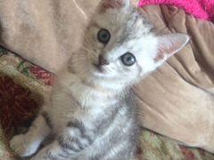 Котёнок. Смесь Шиншиллы с Африканцем