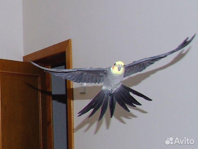 Размах крыльев у попугая