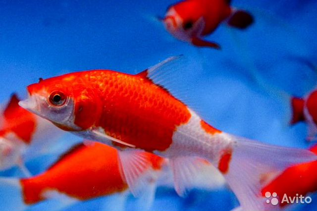 Images of Sarasa Comet Goldfish For Sale - #rock-cafe