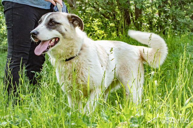 Ника - красивая молодая собака в добрые руки купить на Зозу.ру - фотография № 4