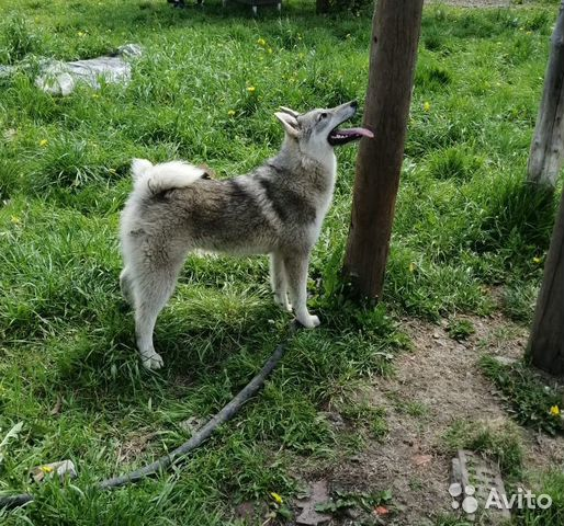щенок сибирской лайки