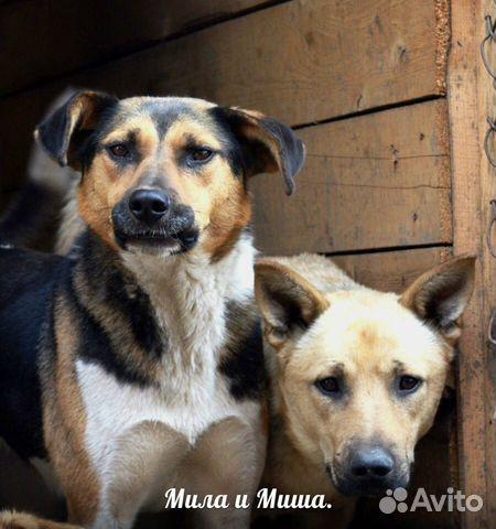 89137249811 Трогательная пара собак Миша и Мила
