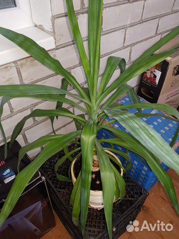 Красавец цветок юкка с керамическим горшком 89212963698 купить 2