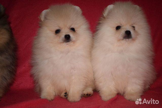 Очень красивые щенки померанского шпица купить на Зозу.ру - фотография № 8