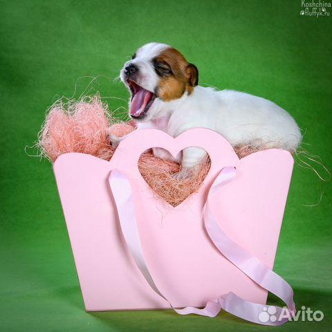 Джек Рассел терьера щенки купить на Зозу.ру - фотография № 7