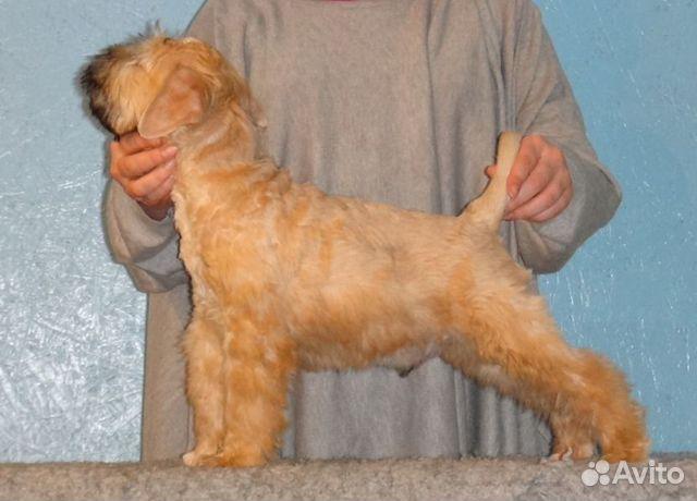 Пшеничный терьер, щенок купить на Зозу.ру - фотография № 6