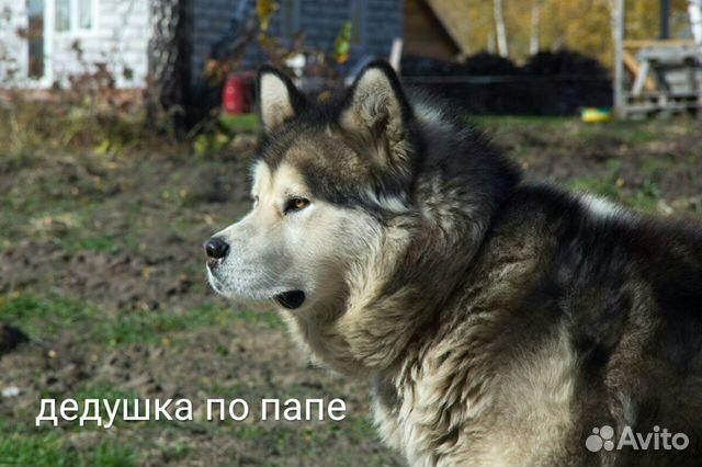Аляскинский маламут купить 9