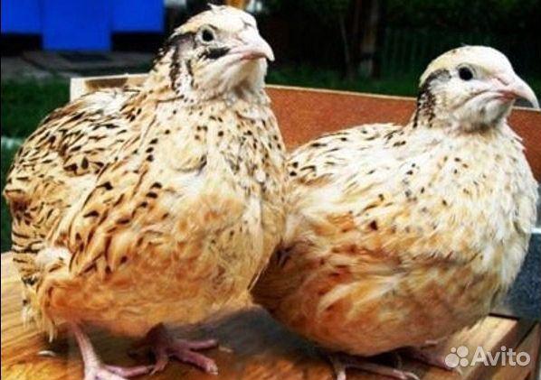 Инкубационное яйцо  89058157333 купить 4
