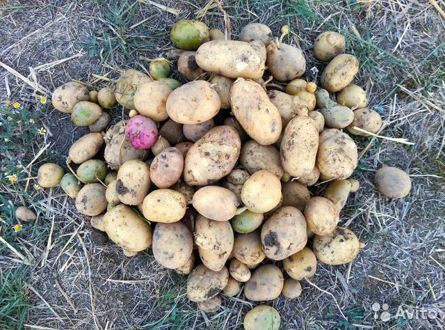 Свекла и картофель  89504159539 купить 2