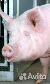 Свиноматка на развод  89080294143 купить 1