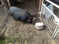 Вьетнамская свинка обмен