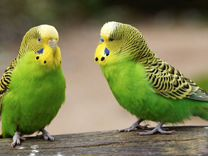 Продажа птенцов элитных попугаев — Птицы в Москве