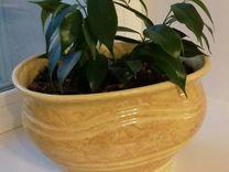 Фикус в керамическом горшке — Растения в Саратове