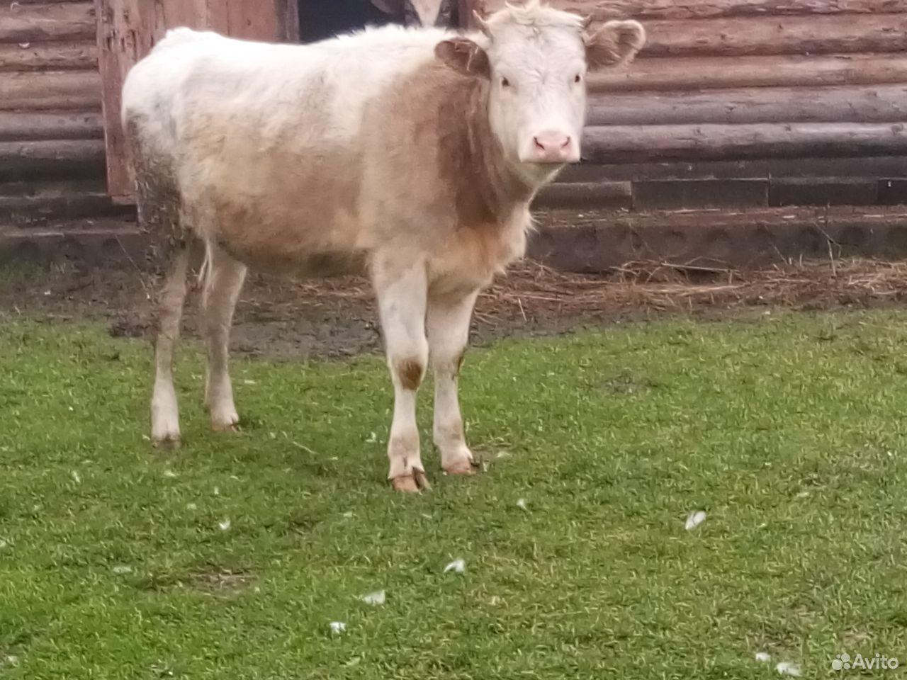 Корова и телочка