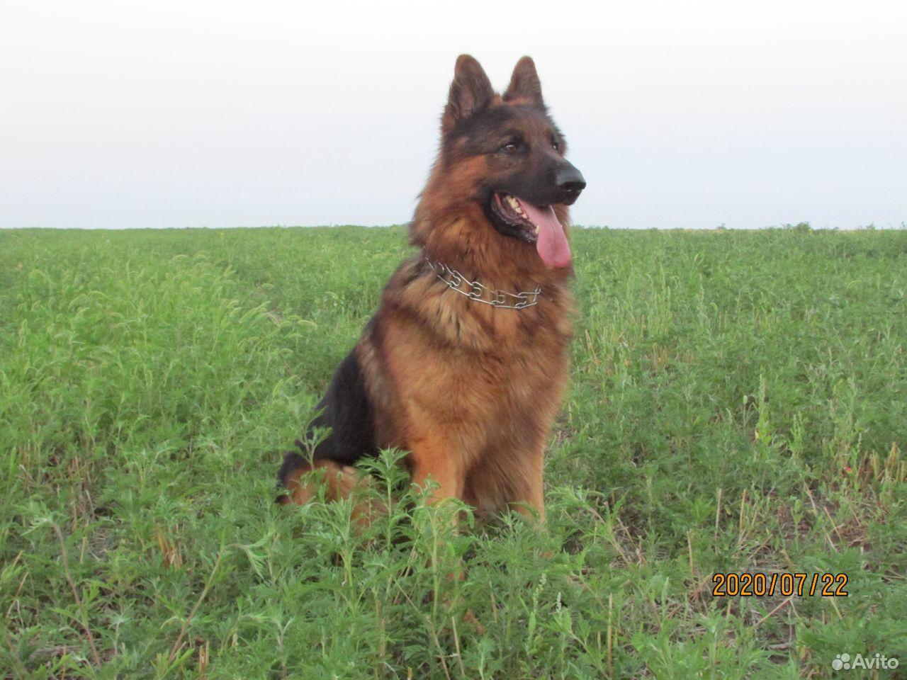German shepherd  89787548516 buy 1