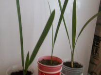 Веерная пальма и другие