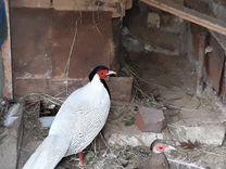 Пара серебряных фазанов (взрослые)