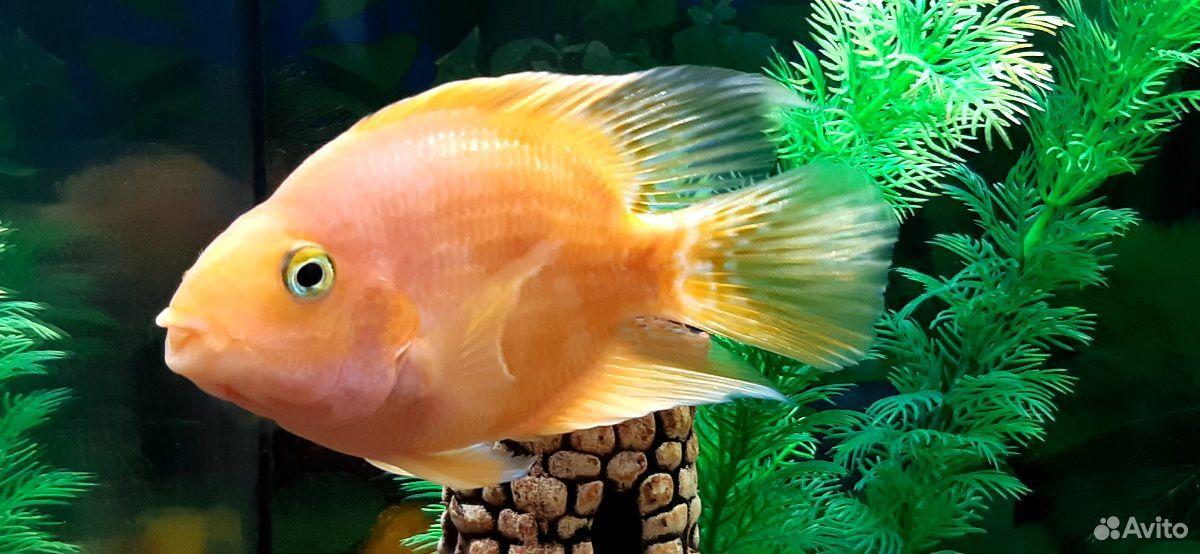 Рыба попугай  89241065400 купить 3