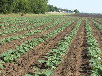 Кабачек оптом с поля, 1 сорт, Марсела, кфх — Продукты питания в Краснодаре