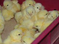 Цыплята, утята,гусята, муларды