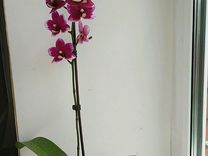 Орхидея фаленопсис P. Taisuco Micky