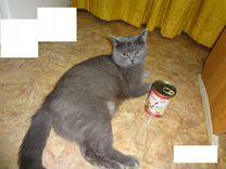 Кот британец чистокровный для Вязки
