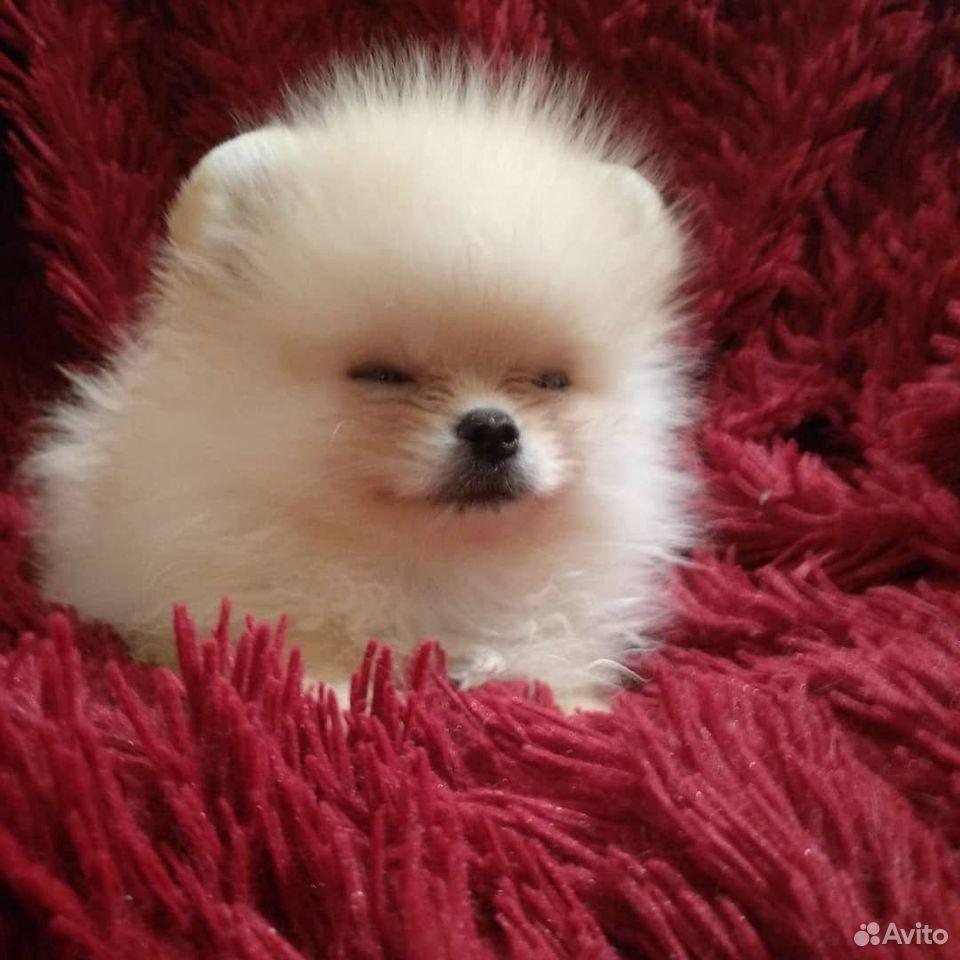Померанский шпиц щеночек