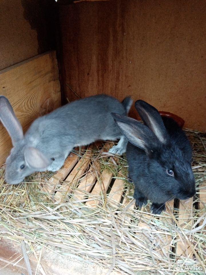 Продаются кролики  89058524280 купить 2
