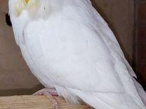 Белые попугайчики, ввп,чехи — Птицы в Москве