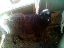 Продам овец, барана