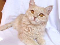 Кошка персиковая котёнок девочка