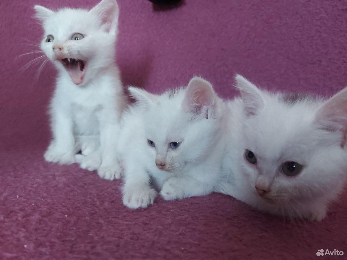 Котята  89199222029 купить 3