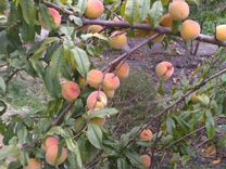 Персики — Растения в Саратове